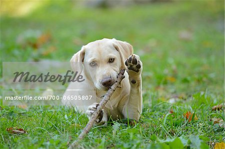 Golden Labrador Retriever Puppy Lying on Grass and Chewing on Stick, Upper Palatinate, Bavaria, Germany