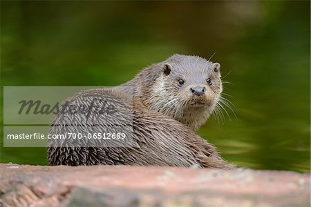 Wet European Otter (Lutra lutra) Looking Back at Camera, Bavaria, Germany Stock Photo - Rights-Managed, Image code: 700-06512689
