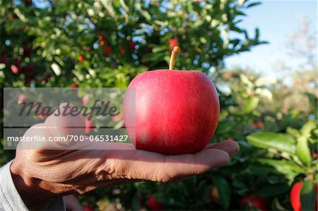 Close-Up of Man's Hand Holding Red Delicious Apple in Apple Orchard, Kelowna, British Columbia Stock Photo - Rights-Managed, Image code: 700-06531427