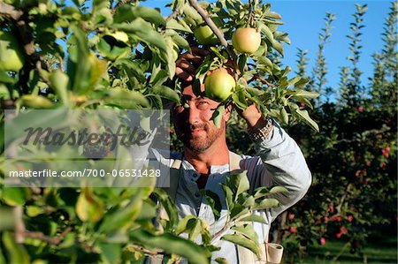 Man picking golden delicious apples in an apple orchard, Kelowna, British Columbia Stock Photo - Rights-Managed, Image code: 700-06531428