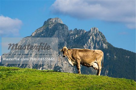 Profile of Cow on top of a Hill with Mountain in Background, Fussen, Swabia, Bavaria, Germany Stock Photo - Rights-Managed, Image code: 700-06531661