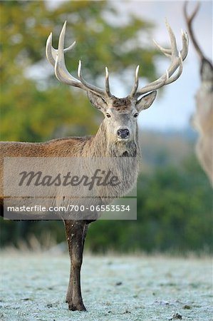 Red Deer (Cervus elaphus) Stag with Antlers Staring Towards Camera, Bavaria, Germany Stock Photo - Rights-Managed, Image code: 700-06553534