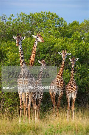 Herd of Masai giraffes (Giraffa camelopardalis tippelskirchi) standing near trees, Maasai Mara National Reserve, Kenya, Africa. Stock Photo - Rights-Managed, Image code: 700-06645583