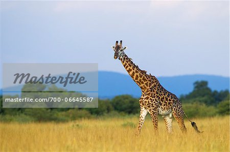 Masai giraffe (Giraffa camelopardalis tippelskirchi), male adult walking in savanna, Maasai Mara National Reserve, Kenya, Africa. Stock Photo - Rights-Managed, Image code: 700-06645587