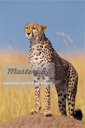 Cheetah (Acinonyx jubatus) adult searching for prey from atop termite mound, Maasai Mara National Reserve, Kenya, Africa. Stock Photo - Rights-Managed, Image code: 700-06645840