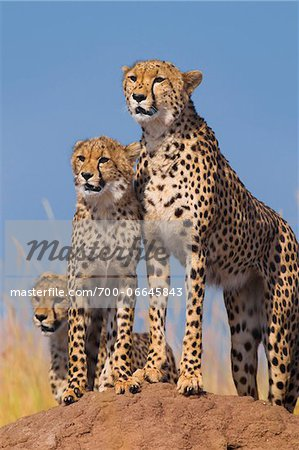 Cheetah (Acinonyx jubatus) with two half grown cubs searching for prey from atop termite mound, Maasai Mara National Reserve, Kenya, Africa. Stock Photo - Rights-Managed, Image code: 700-06645843