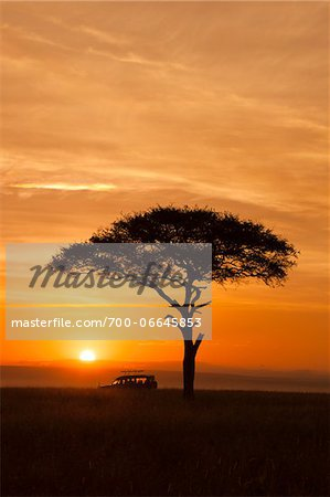 View of acacia tree and safari jeep silhouetted against beautiful sunrise sky, Maasai Mara National Reserve, Kenya, Africa. Stock Photo - Rights-Managed, Image code: 700-06645853