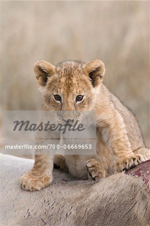 Lion cub (Panthera leo) sitting on an eland kill, Maasai Mara National Reserve, Kenya, Africa. Stock Photo - Rights-Managed, Image code: 700-06669653