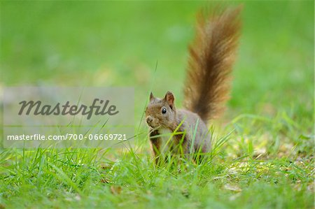 Eurasian red squirrel (Sciurus vulgaris) in grassy meadow, Bavaria, Germany Stock Photo - Rights-Managed, Image code: 700-06669721