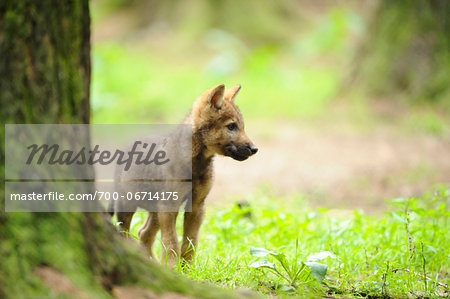 Eurasian wolf (Canis lupus lupus) pup in the forest, Bavaria, Germany Stock Photo - Rights-Managed, Image code: 700-06714175