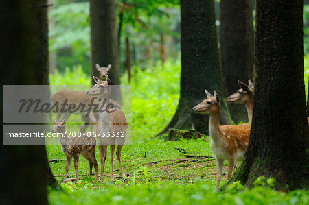 Herd of fallow deer (Dama dama) with a calf in the forest, Bavaria, Germany Stock Photo - Rights-Managed, Image code: 700-06733332