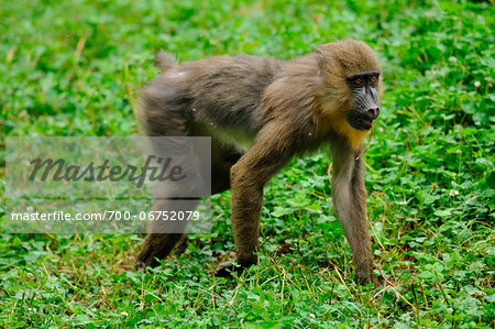 Mandrill (Mandrillus sphinx) on a meadow in Zoo, Augsburg, Germany Stock Photo - Rights-Managed, Image code: 700-06752079