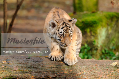 Siberian tiger (Panthera tigris altaica) cub in a Zoo, Germany Stock Photo - Rights-Managed, Image code: 700-06752447