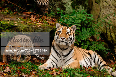 Siberian tiger (Panthera tigris altaica) mother with her cub in a Zoo, Germany Stock Photo - Rights-Managed, Image code: 700-06752449