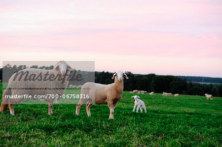 Sheep (Ovis aries) in a meadow in autumn, bavaria, germany Stock Photo - Rights-Managed, Image code: 700-06758316