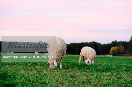 Sheep (Ovis aries) grazing in a meadow in autumn, bavaria, germany Stock Photo - Rights-Managed, Image code: 700-06758317
