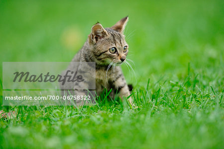 House cat youngster kitten on a meadow, bavaria, germany. Stock Photo - Rights-Managed, Image code: 700-06758322