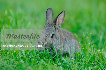 Domestic rabbit (Oryctolagus cuniculus forma domestica) young in a meadow, Bavaria, Germany Stock Photo - Rights-Managed, Image code: 700-06773181