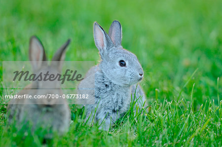 Domestic rabbit (Oryctolagus cuniculus forma domestica) young in a meadow, Bavaria, Germany Stock Photo - Rights-Managed, Image code: 700-06773182