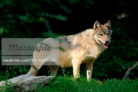 Eastern wolf (Canis lupus lycaon) standing at edge of forest, Germany Stock Photo - Rights-Managed, Image code: 700-06773384