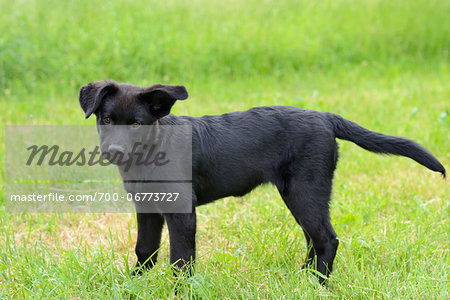 Mixed-breed black dog puppy standing on a meadow, Bavaria, Germany Stock Photo - Rights-Managed, Image code: 700-06773727