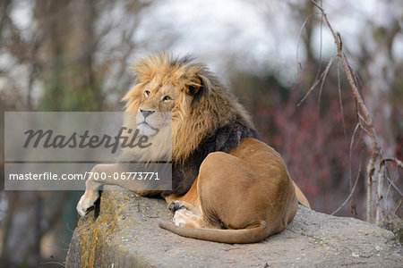 Lion (Panthera leo) male lying on boulder outdoors in a Zoo, Germany Stock Photo - Rights-Managed, Image code: 700-06773771
