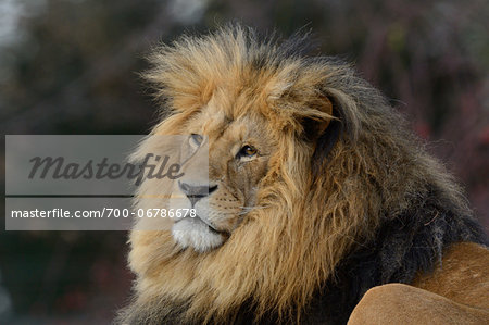 Portrait of a Male Lion (Panthera leo) outdoors in a Zoo, Germany Stock Photo - Rights-Managed, Image code: 700-06786678