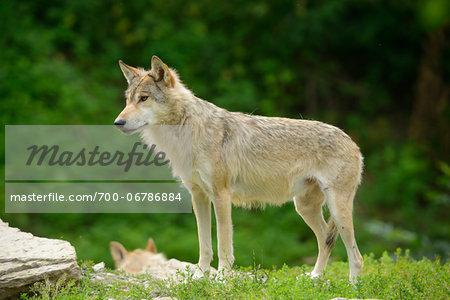 Eastern wolf (Canis lupus lycaon) standing on a meadow, Germany Stock Photo - Rights-Managed, Image code: 700-06786884