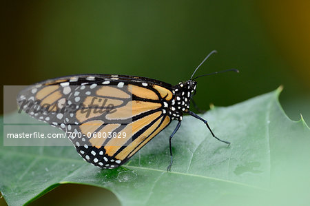 Close-up of a Monarch butterfly (Danaus plexippus) sitting on a leaf Stock Photo - Rights-Managed, Image code: 700-06803829