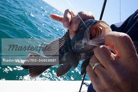 Fishing for Black sea bass, Centropristis striata, atlantic ocean, somewhere off the coast of georgia, near Savannah, Thunderbolt, Tybee Island. Stock Photo - Rights-Managed, Image code: 700-06808887