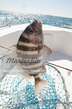 sheepshead fish caught by fisherman in georgia Stock Photo - Rights-Managed, Image code: 700-06809023