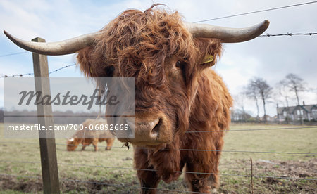 Highland cattle in field, Scotland Stock Photo - Rights-Managed, Image code: 700-06892669