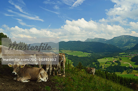 Cows on Mountainside in Allgaeu Alps, View from Paradies, near Oberstaufen, Bavaria, Germany Stock Photo - Rights-Managed, Image code: 700-06892802