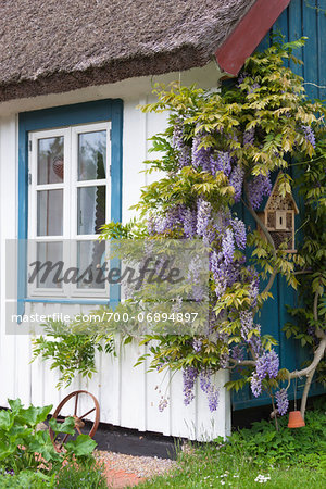 Wisteria on a wooden house wall in Born, Fischland-Darss-Zingst, Coast of the Baltic Sea, Mecklenburg-Western Pomerania, Germany, Europe Stock Photo - Rights-Managed, Image code: 700-06894897