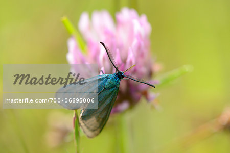 Close-up of a Green Forester (Adscita statices) on garlic chive (Allium schoenoprasum) blossom in spring, Bavaria, Germany Stock Photo - Rights-Managed, Image code: 700-06895006