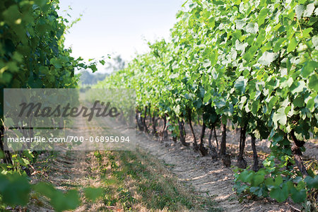 Between rows of grapevines in vineyard, Niagara Region, Ontario, Canada Stock Photo - Rights-Managed, Image code: 700-06895094