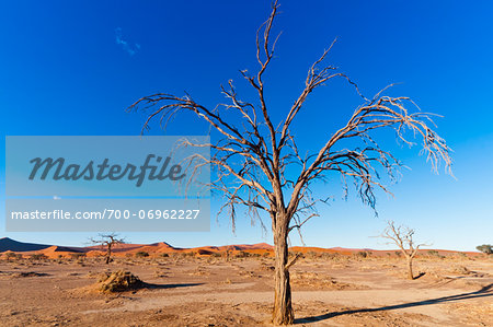 Dead Tree in Namib-Naukluft National Park, Namib Desert, Sossusvlei Region, Namibia, Africa Stock Photo - Rights-Managed, Image code: 700-06962227