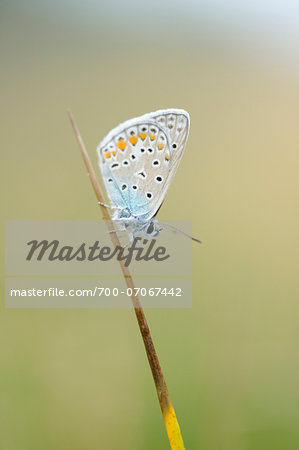 Close-up of Common Blue Butterfly (Polyommatus icarus) in Meadow, Bavaria, Germany Stock Photo - Rights-Managed, Image code: 700-07067442