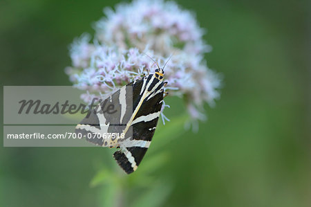 Close-up of Jersey Tiger (Euplagia quadripunctaria) on Flower, Styria, Austria Stock Photo - Rights-Managed, Image code: 700-07067518