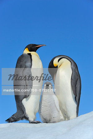 Adult Emperor Penguins (Aptenodytes forsteri) with Chick, Snow Hill Island, Antarctic Peninsula, Antarctica Stock Photo - Rights-Managed, Image code: 700-07110792