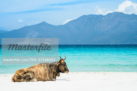 Wild cow lying on the beach, Loto Beach, Agriates Desert, Corsica, France Stock Photo - Rights-Managed, Image code: 700-07148303