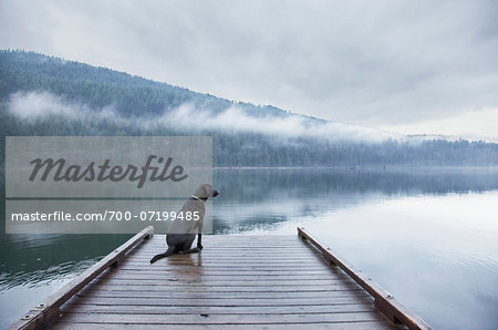 Black Labrador Retriever mixed breed dog sitting on dock at lake, Hayward Lake, BC. Stock Photo - Rights-Managed, Image code: 700-07199485