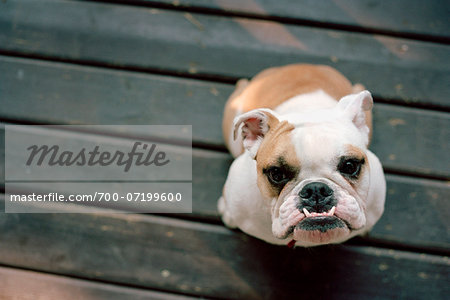 Bulldog Stock Photo - Rights-Managed, Image code: 700-07199600