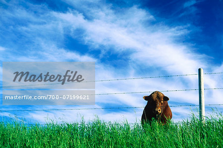Bull in Field, Saskatchewan, Canada Stock Photo - Rights-Managed, Image code: 700-07199621