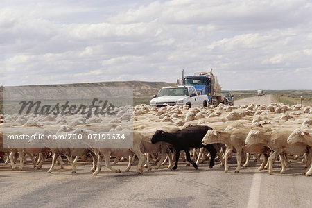 Sheep Crossing Road, Wyoming, USA Stock Photo - Rights-Managed, Image code: 700-07199634