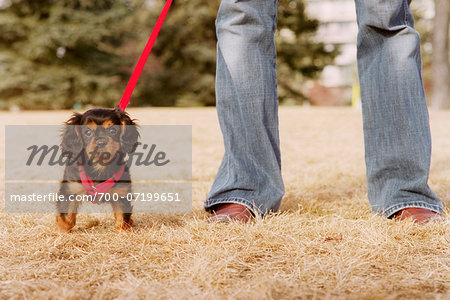 King Charles Spaniel Puppy Stock Photo - Rights-Managed, Image code: 700-07199651