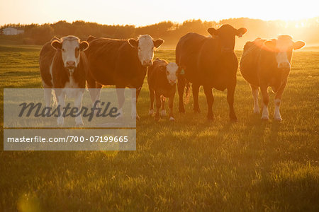Cows in Field at Sunset Stock Photo - Rights-Managed, Image code: 700-07199665