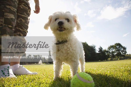 Dog in Park with Tennis Ball Stock Photo - Rights-Managed, Image code: 700-07199676