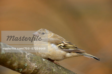 Close-up of Brambling (Fringilla montifringilla) in Autumn, Bavarian Forest National Park, Bavaria, Germany Stock Photo - Rights-Managed, Image code: 700-07206649