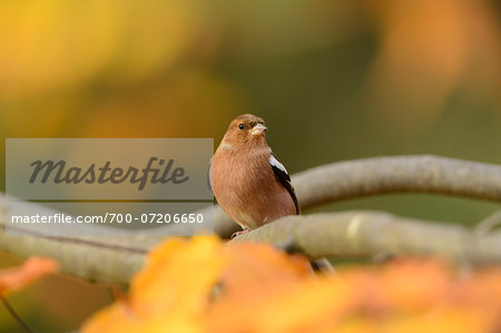 Portrait of Common Chaffinch (Fringilla coelebs) in Autumn, Bavarian Forest National Park, Bavaria, Germany Stock Photo - Rights-Managed, Image code: 700-07206650